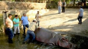 The zoo's veterinarians found cuts on the hippo's neck and face